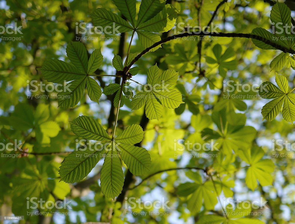 Chestnut leaves from below royalty-free stock photo