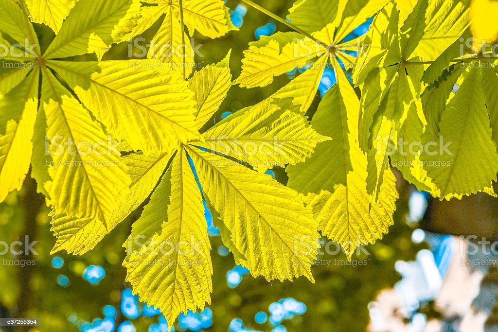 Chestnut leaves, lit by the sun, close-up stock photo