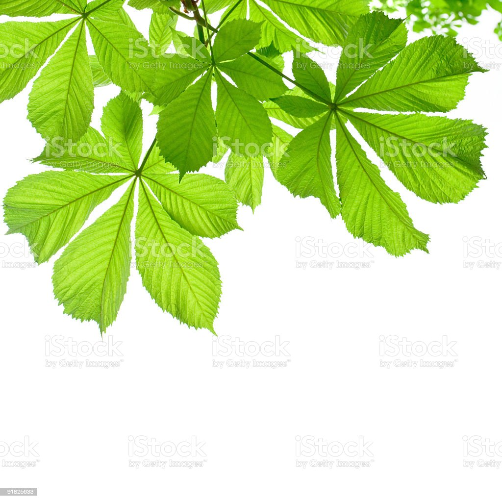Chestnut leaves on white background royalty-free stock photo