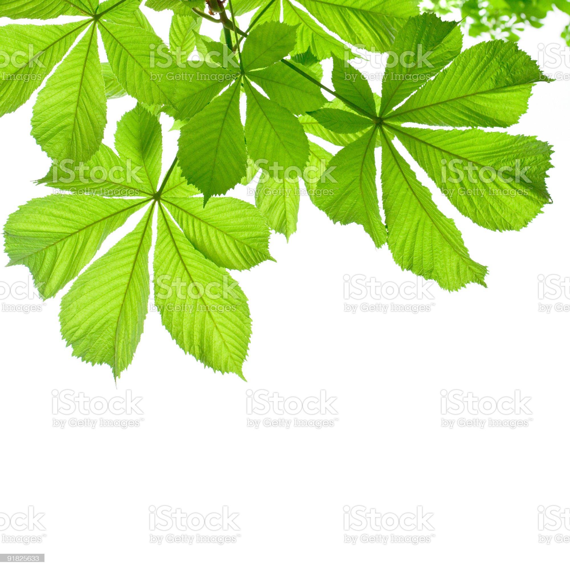 Chestnut leaves on white background royalty-free stock photo