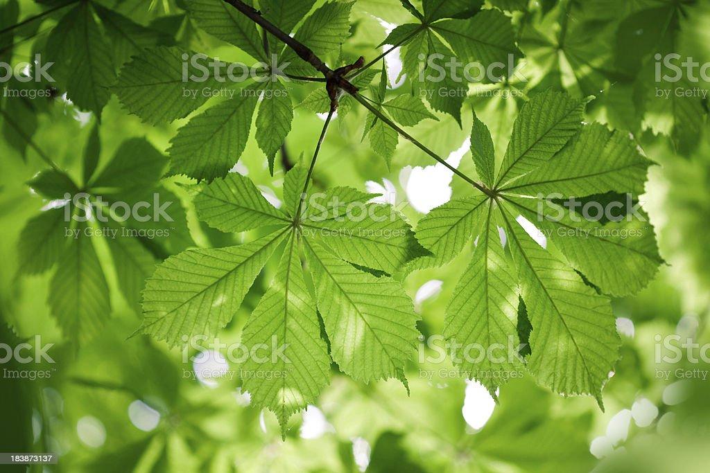 Chestnut leaves stock photo