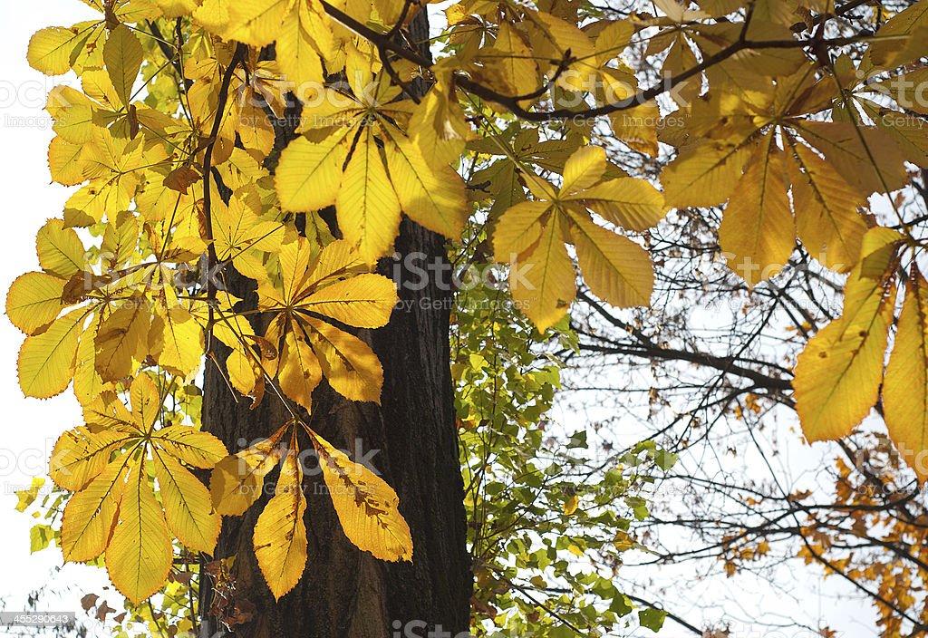 Chestnut hojas foto de stock libre de derechos