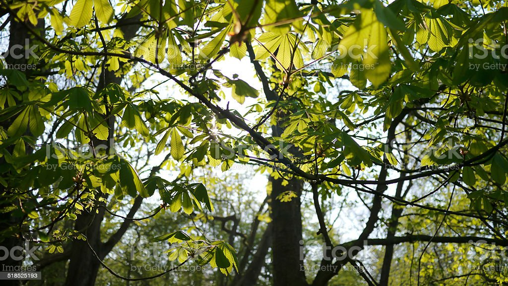 Chestnut leaves seen from below royalty-free stock photo