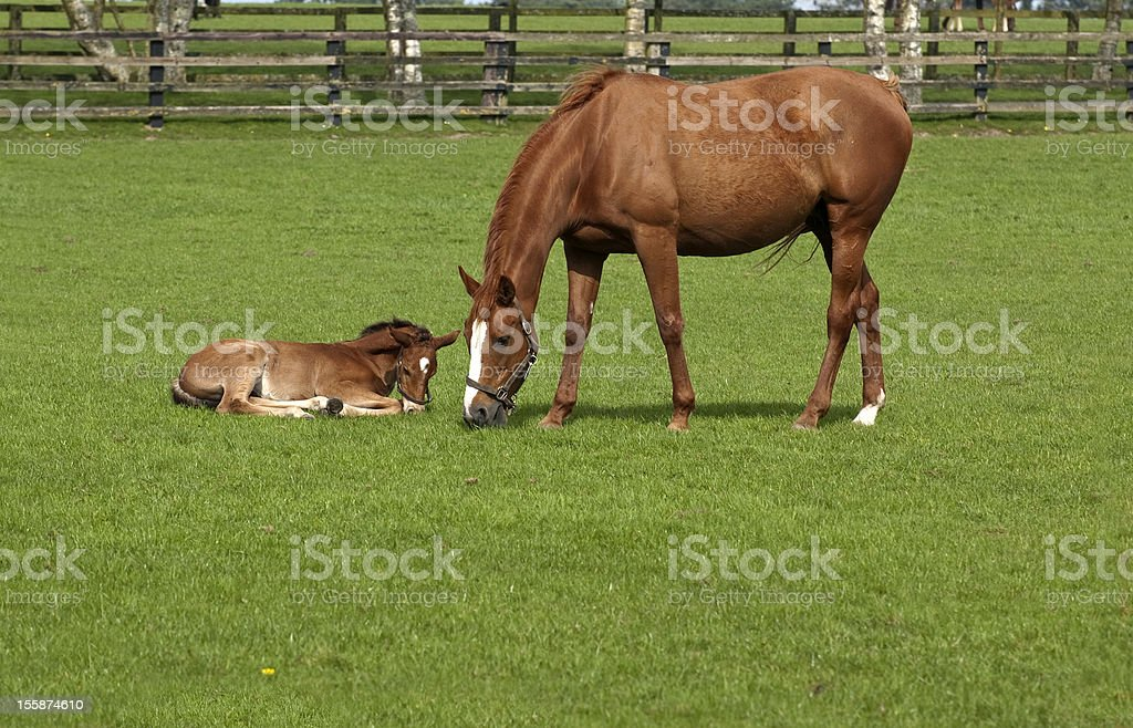 Chestnut Mare and Foal in a Field stock photo
