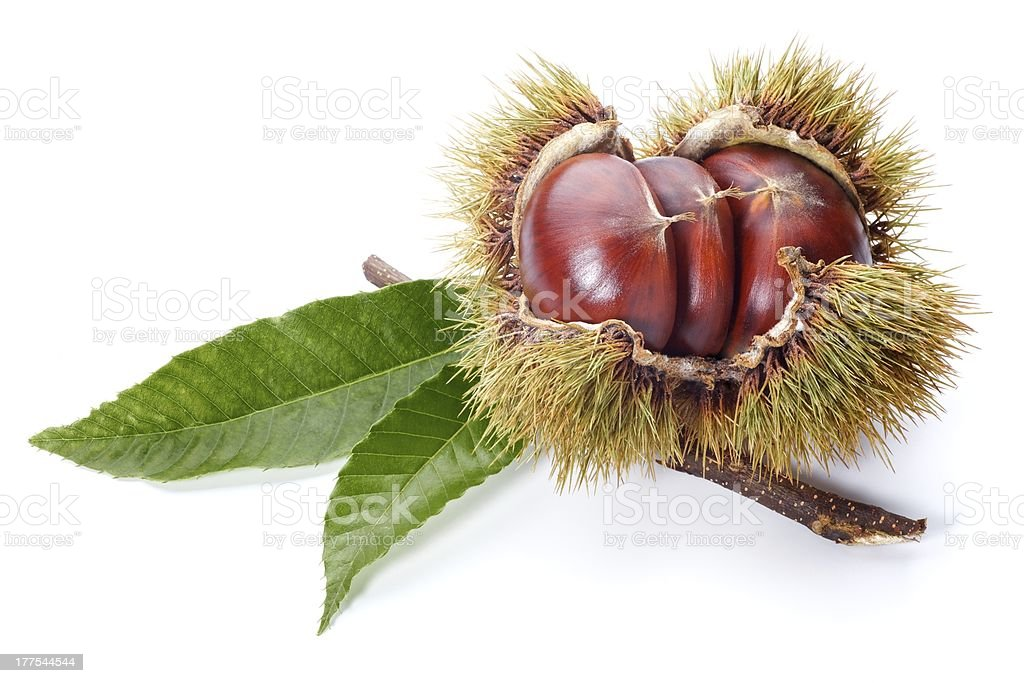Chestnut stock photo