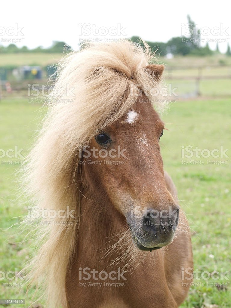 Chestnut Pony Headshot royalty-free stock photo