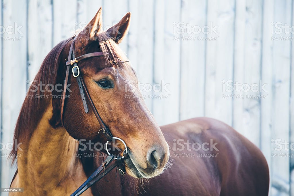 Chestnut quarter horse portrait stock photo