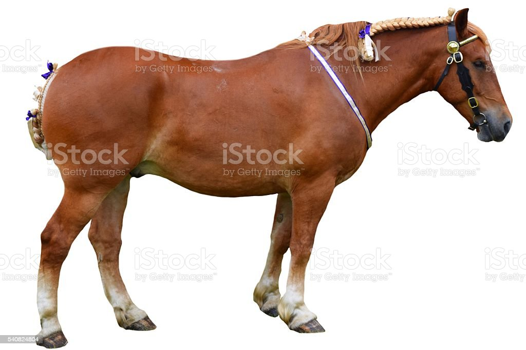 chestnut shire horse with ribbons isolated white background stock photo