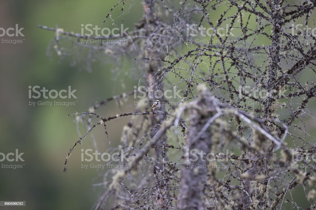 Chestnut Sided Warbler in the distance shown in natural habitat. stock photo