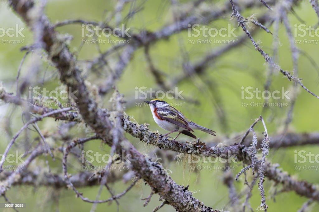Chestnut Sided Warbler. stock photo