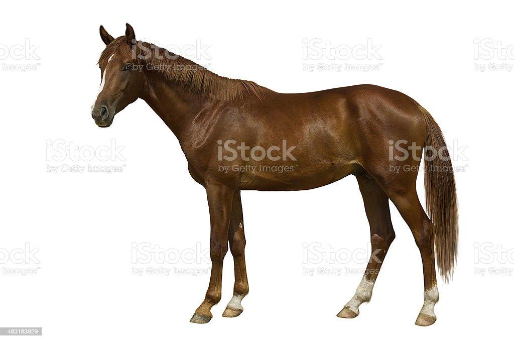 Chestnut stallion stock photo