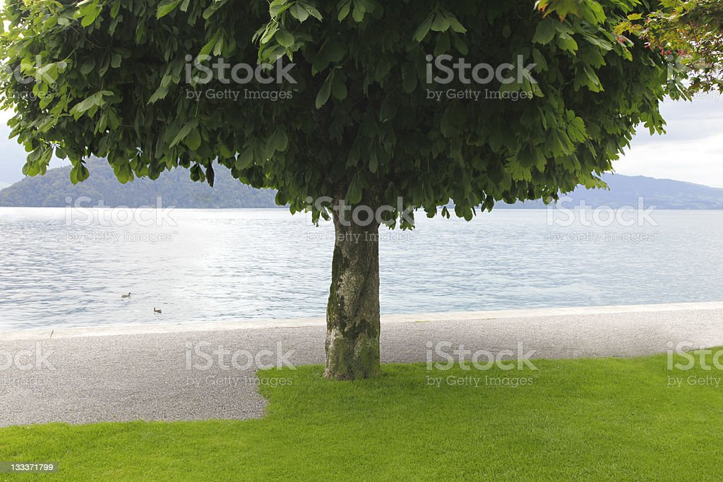 Chestnut tree at the water royalty-free stock photo