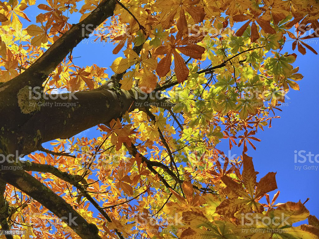 Chestnut tree crown royalty-free stock photo