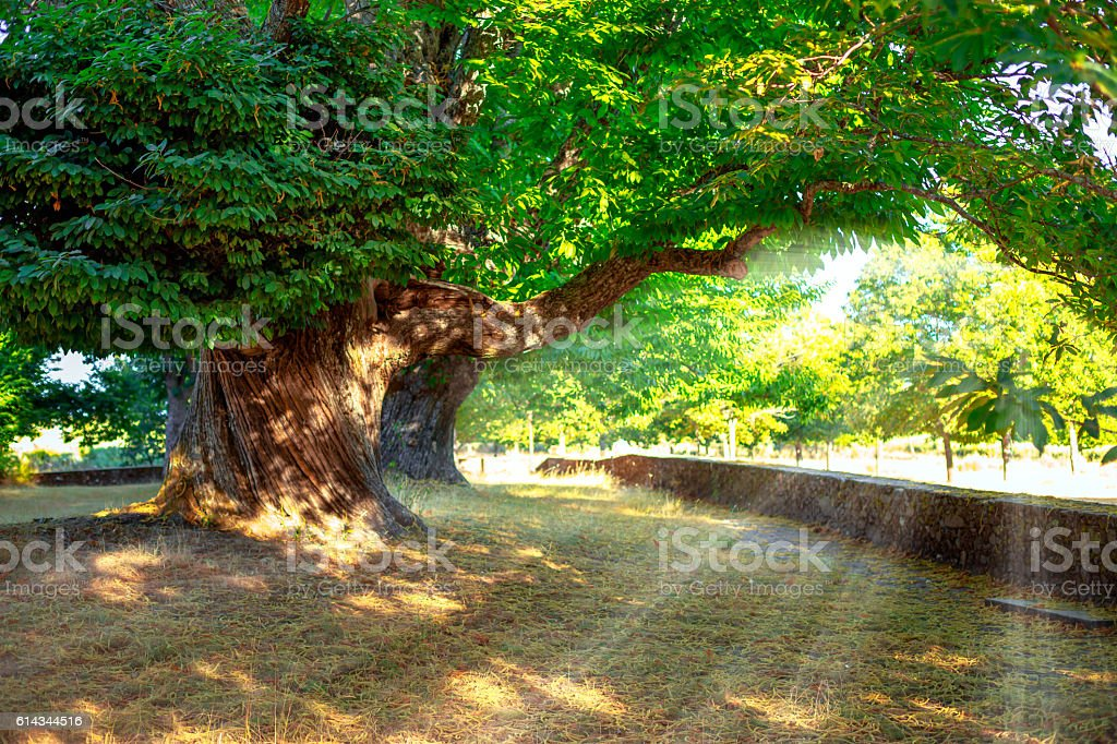 Chestnut tree in summer at sunset stock photo