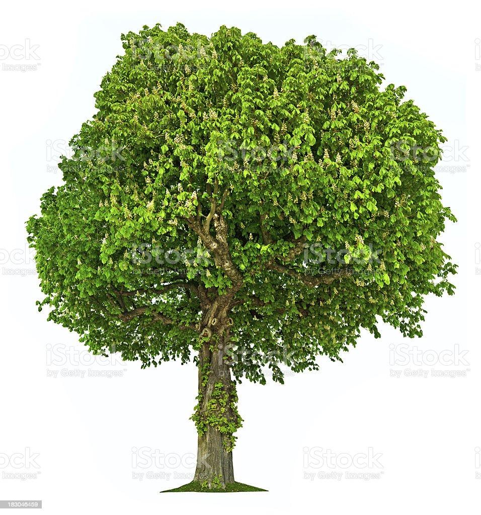 Chestnut tree isolated stock photo
