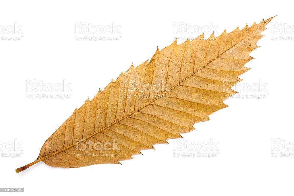 Chestnut Tree Leaf stock photo