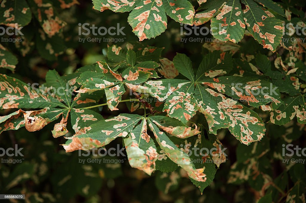 Chestnut Tree Leaves and Moth stock photo