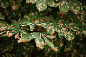 Chestnut Tree Leaves and Moth