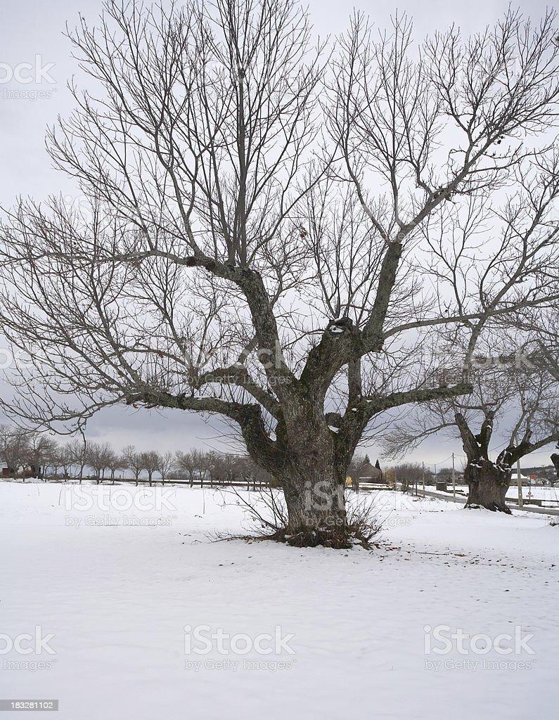 Chestnut tree (Portugal) royalty-free stock photo
