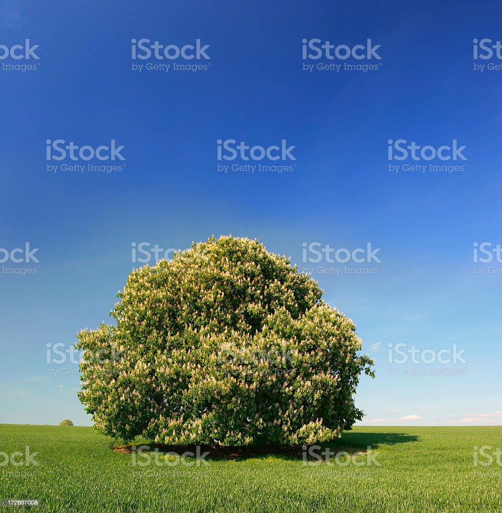 Chestnut Tree under a Big Blue Sky royalty-free stock photo
