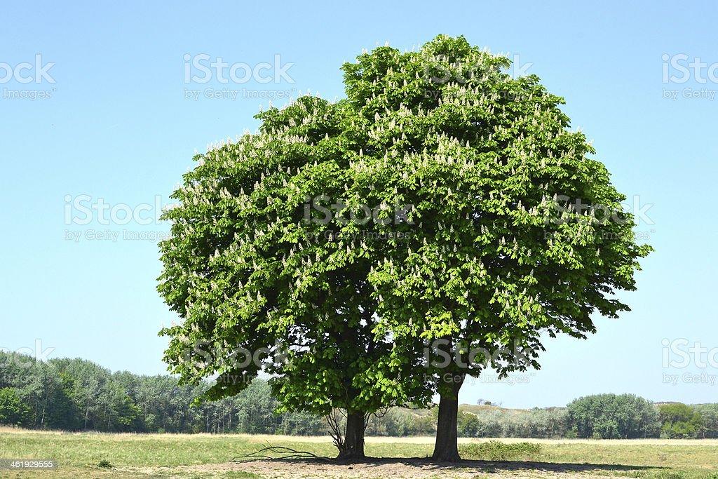 栗の木を誘います。 ロイヤリティフリーストックフォト