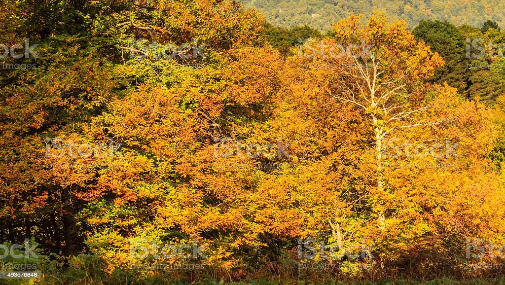 chestnut trees royalty-free stock photo