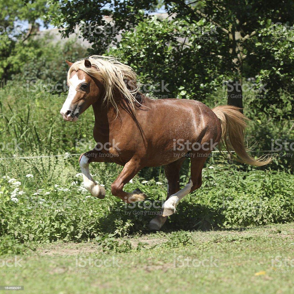 Chestnut welsh mountain pony stallion running stock photo