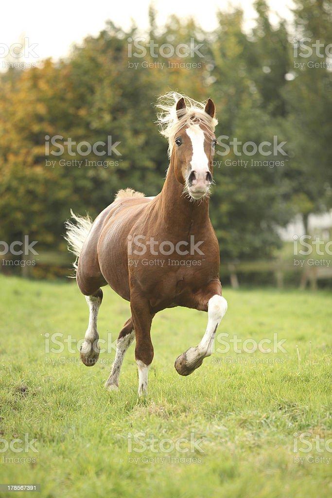 Chestnut welsh pony stallion with blond hair stock photo