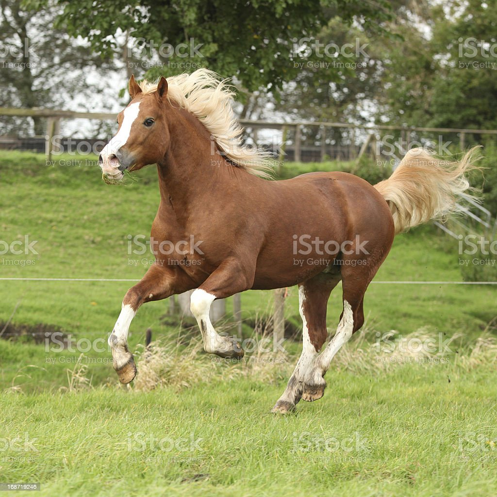 Chestnut welsh pony with blond hair running on pasturage stock photo