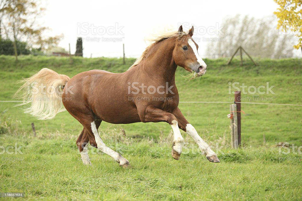 Chestnut welsh pony with blond hair running on pasturage royalty-free stock photo