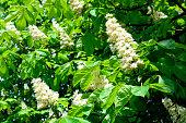 Chestnut white spring flowers