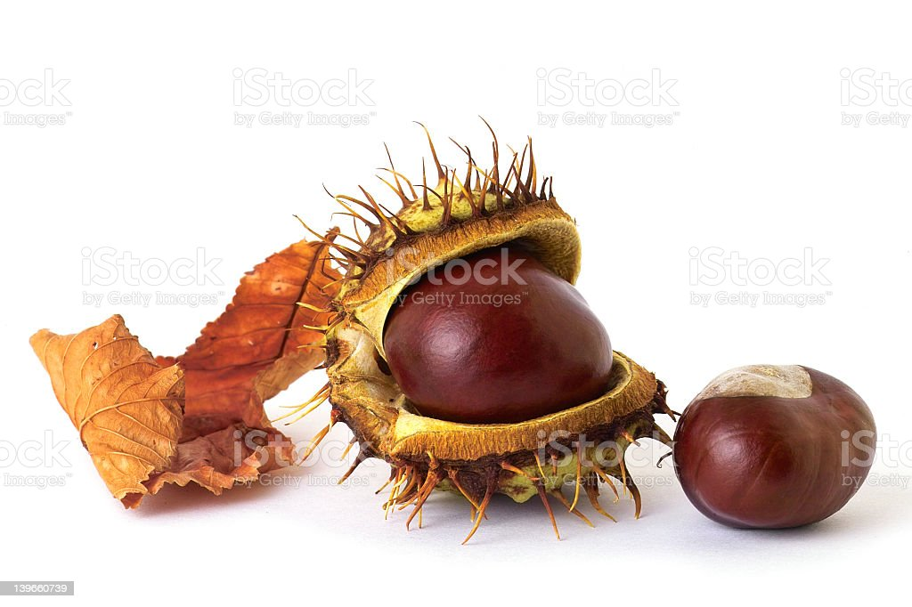 A chestnut with a dried leaf on a white background stock photo