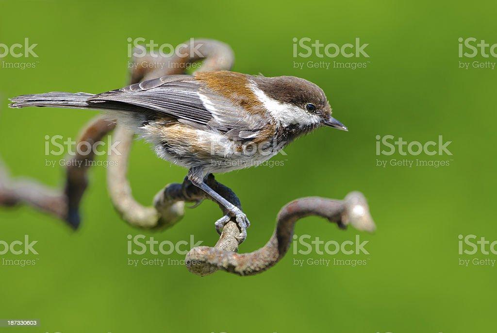 Chestnut-backed Chickadee, Canada royalty-free stock photo