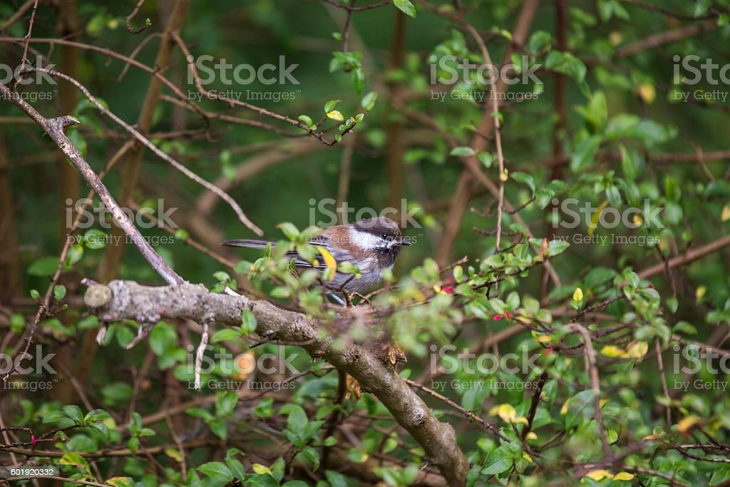 Chestnut-backed Chickadee (Poecile rufescens) stock photo