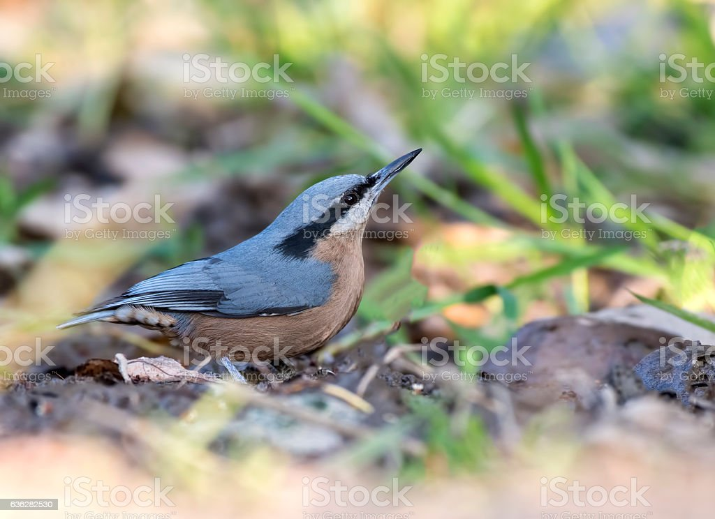 Chestnut-bellied nuthatch (female) stock photo