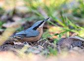 Chestnut-bellied nuthatch (female)