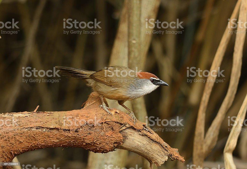 Chestnut-capped Babbler (Timalia pileata) stock photo