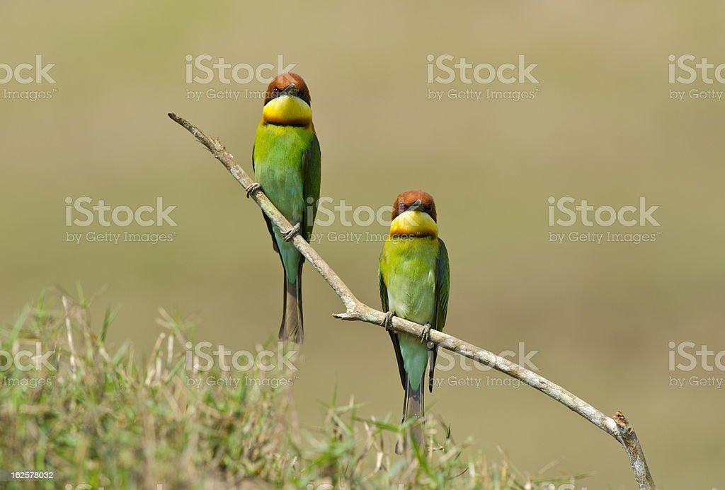 Chestnut-headed Bee-eater, Bird royalty-free stock photo