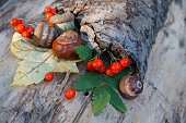 Chestnuts, acorns and red viburnum on an old crust. Nature