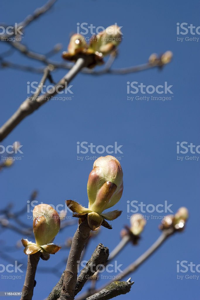 Chestnuts bud royalty-free stock photo