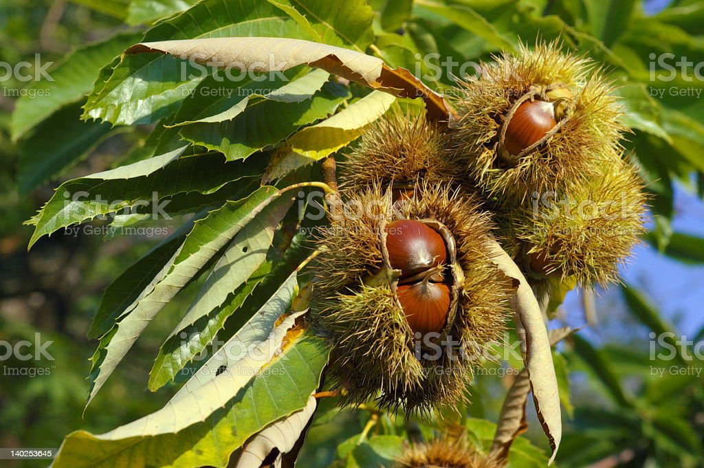 Chestnuts growing on a tree in the sunlight stock photo