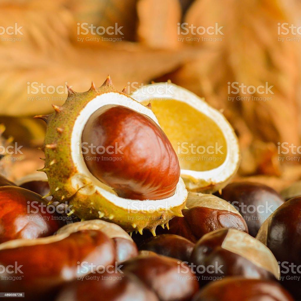Chestnuts in Autumn stock photo