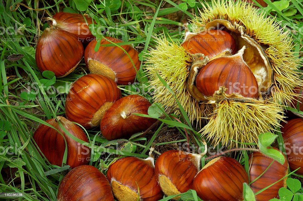 Chestnuts in the field royalty-free stock photo