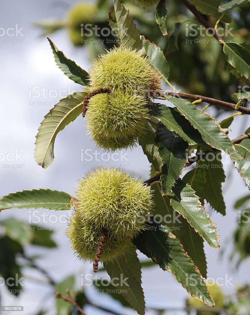 chestnuts in the tree royalty-free stock photo