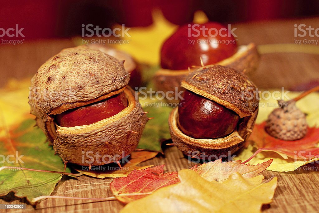 chestnuts on leaves royalty-free stock photo