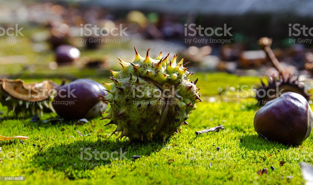 chestnuts on the ground stock photo