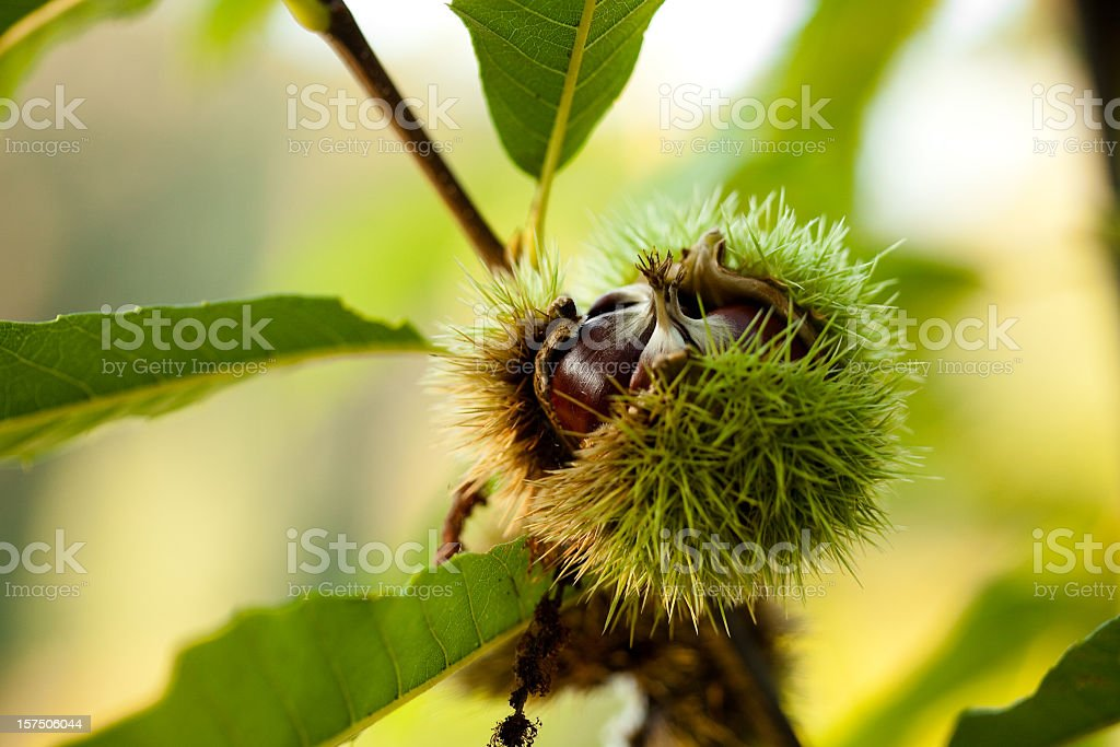 Chestnuts on the tree stock photo