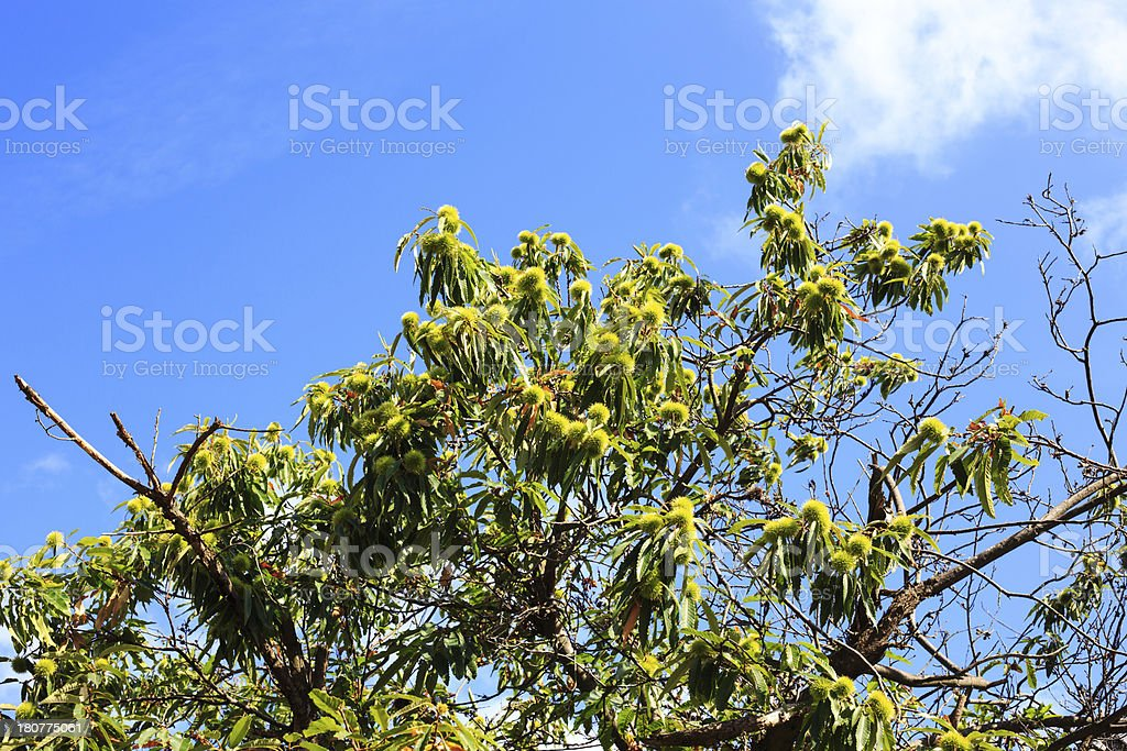 Chestnuts on the tree royalty-free stock photo