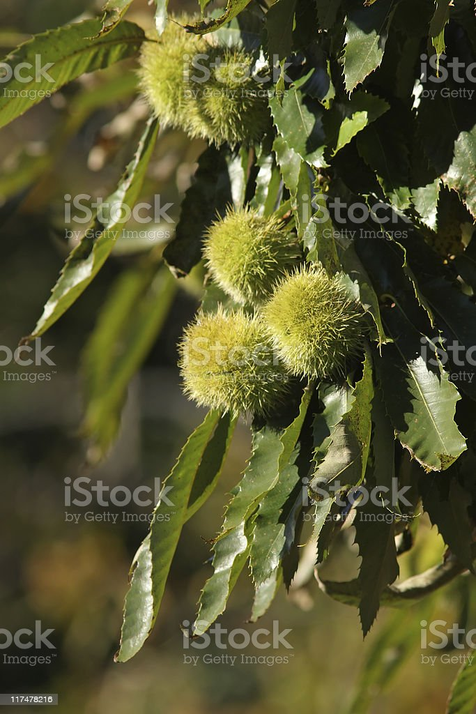 Chestnuts on tree royalty-free stock photo