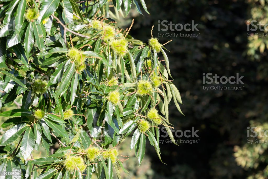 Chestnuts ripening on tree stock photo